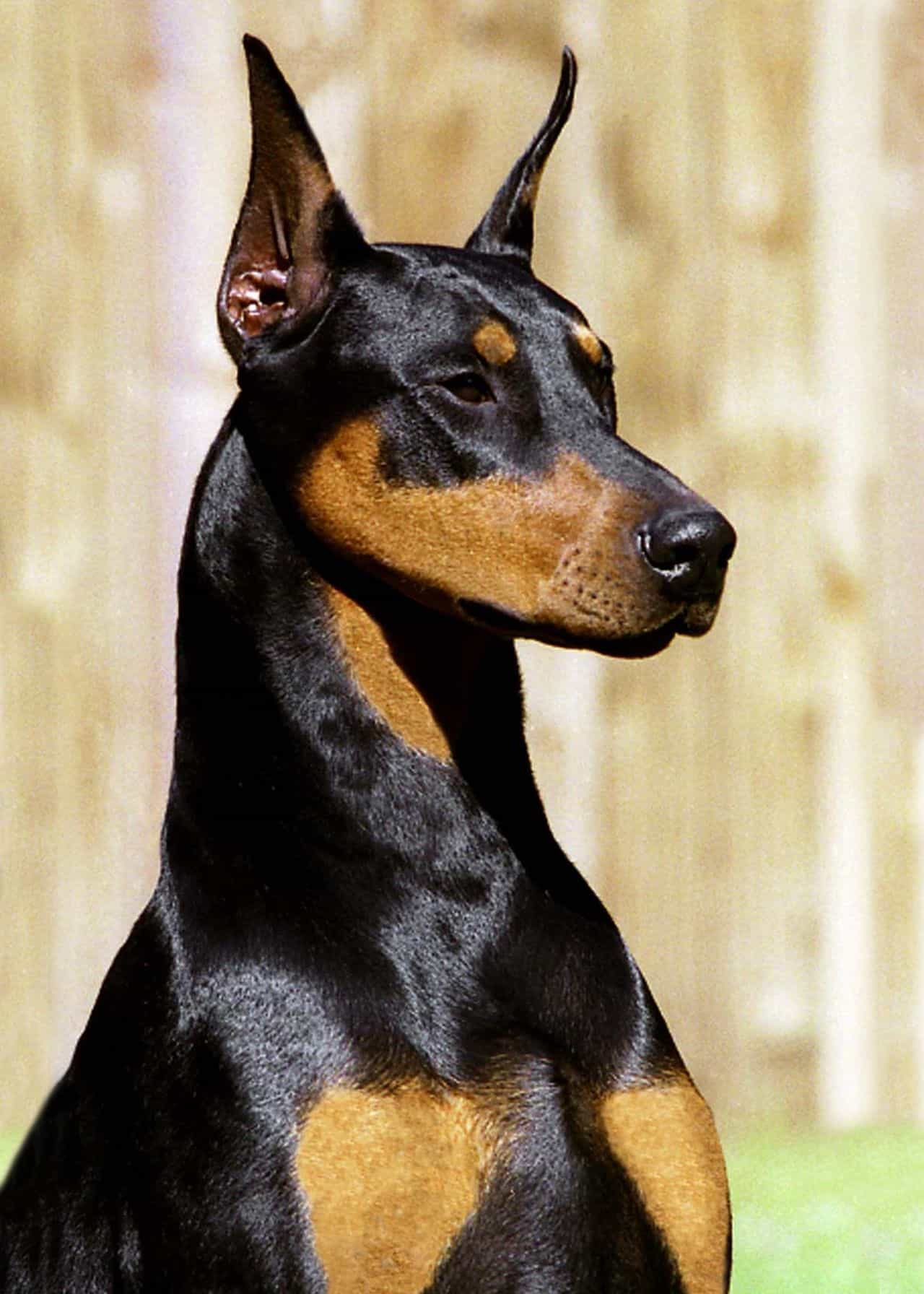 Chó Doberman tai vểnh vì được cắt tai