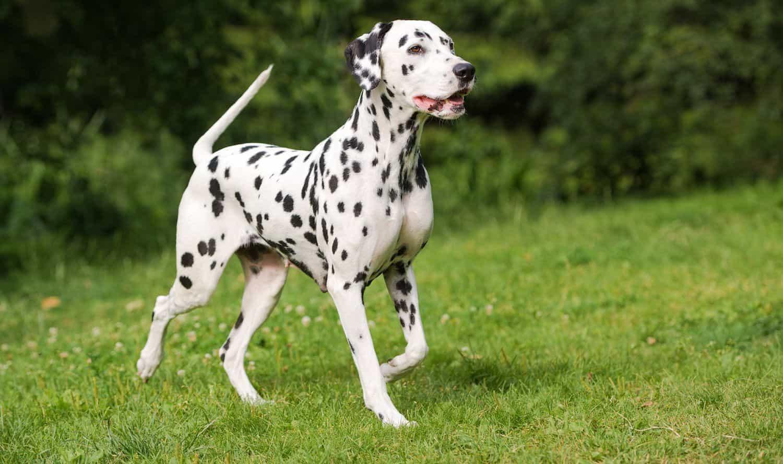 Chó Đốm còn có tên gọi khác là chó cứu hỏa