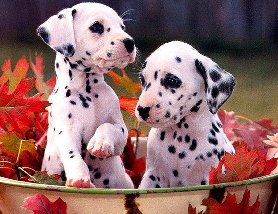 Chó Đốm thân thiện với những loài vật khác