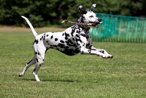 Chó đốm thích vận động
