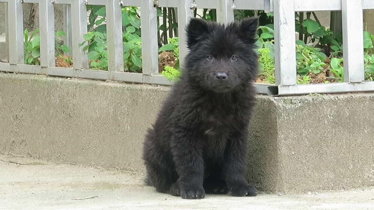 Chó gấu Bắc Hà màu đen