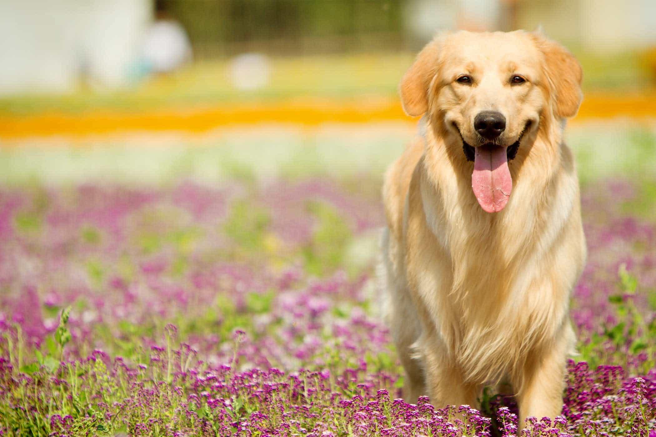 chó golden đen