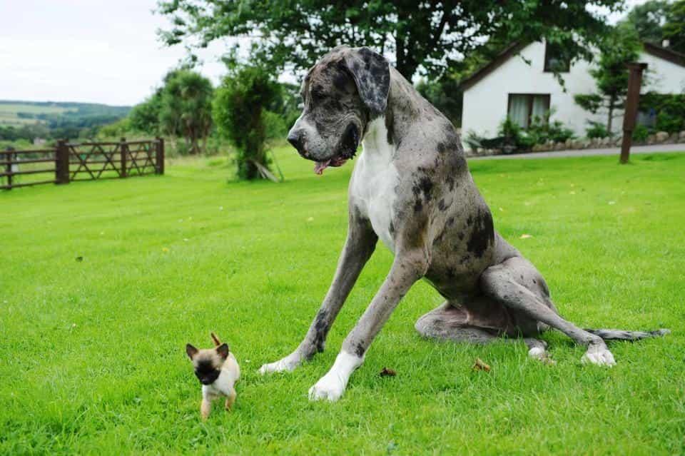 Chó Great Dane thân thiện với những con vật khác