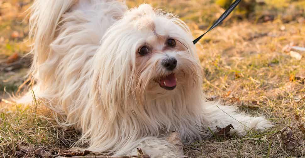 Chó Havanese