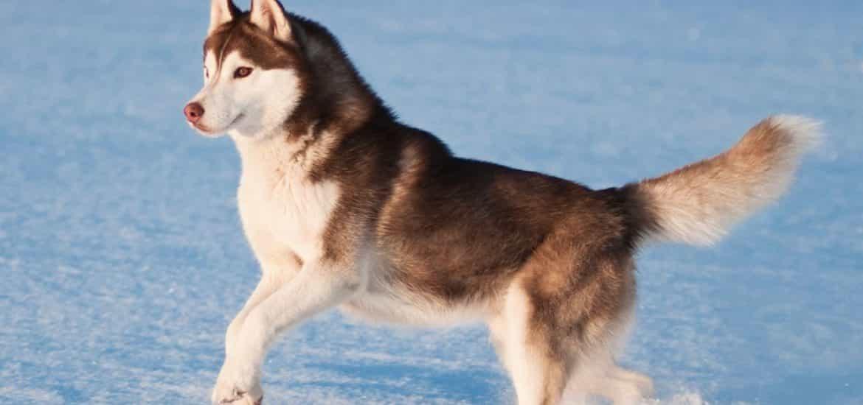 Chó Husky có kích cỡ thân hình trung bình