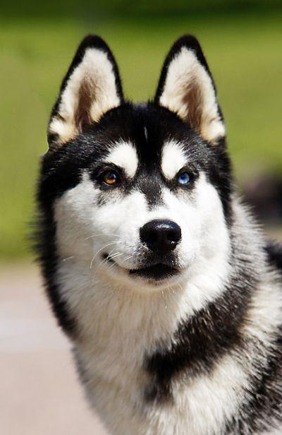 Chó Husky không hề hung dữ