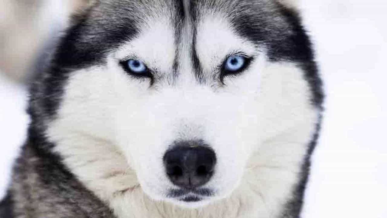 Chó Husky mắt xanh