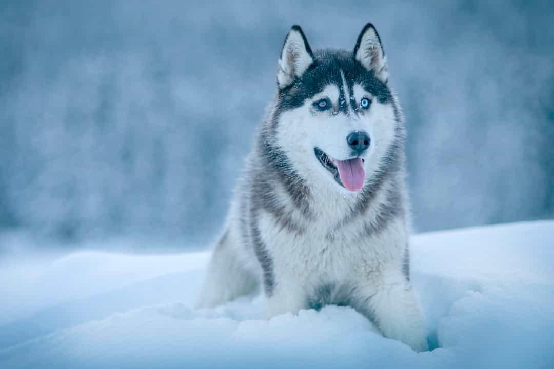 Chó Husky nhập ngoại sẽ có giá đắt hơn nhiều