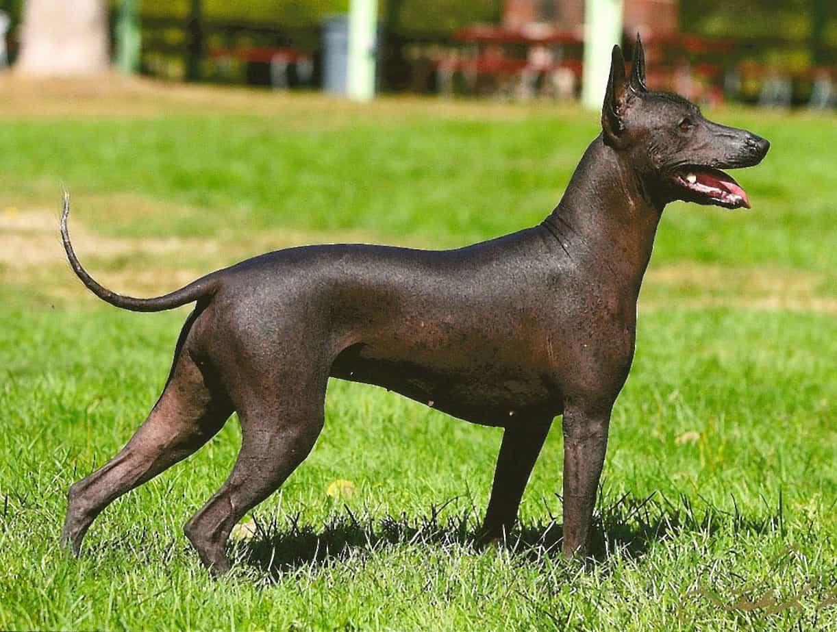 Chó không lông Mexico đứng trên cỏ