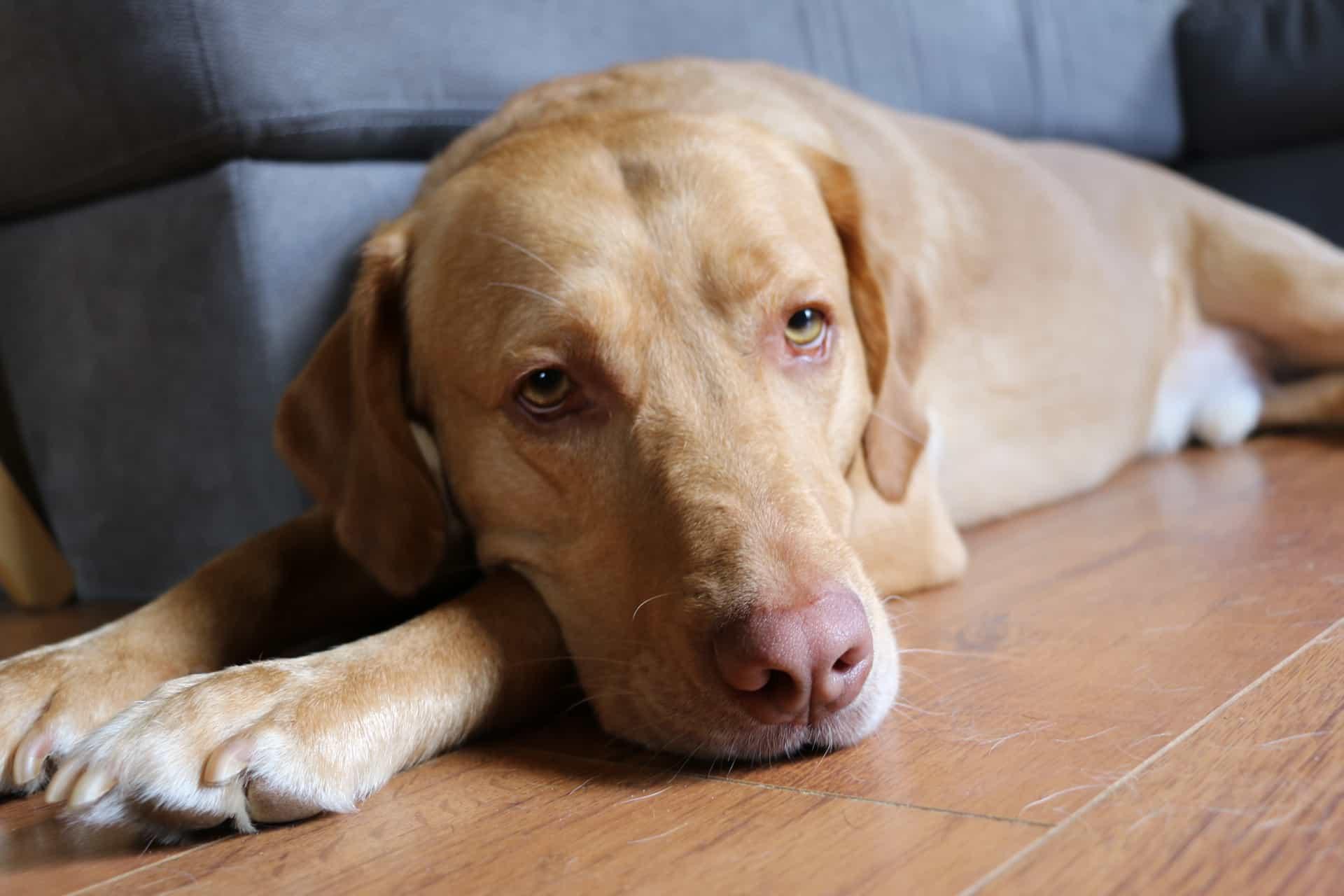 Chó Labrador có mũi nhạt màu