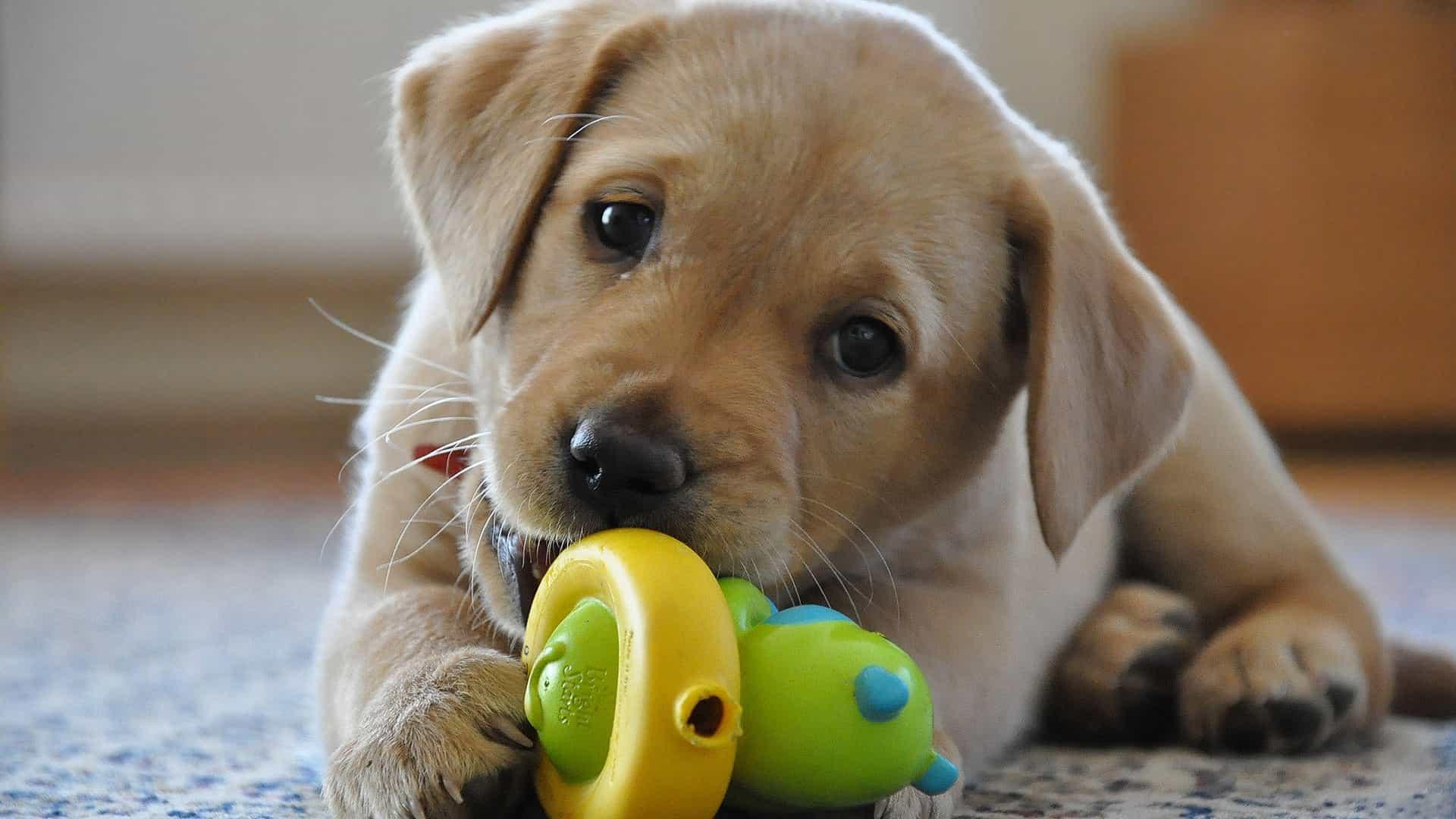 Chó Labrador con