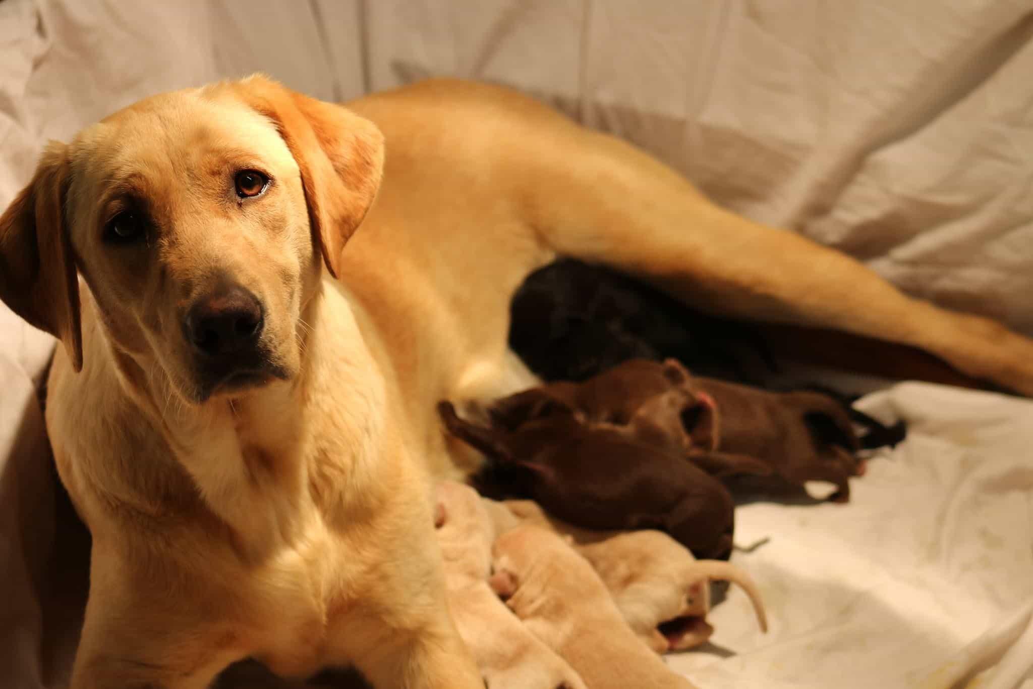 Chó Labrador mẹ đang cho con bú