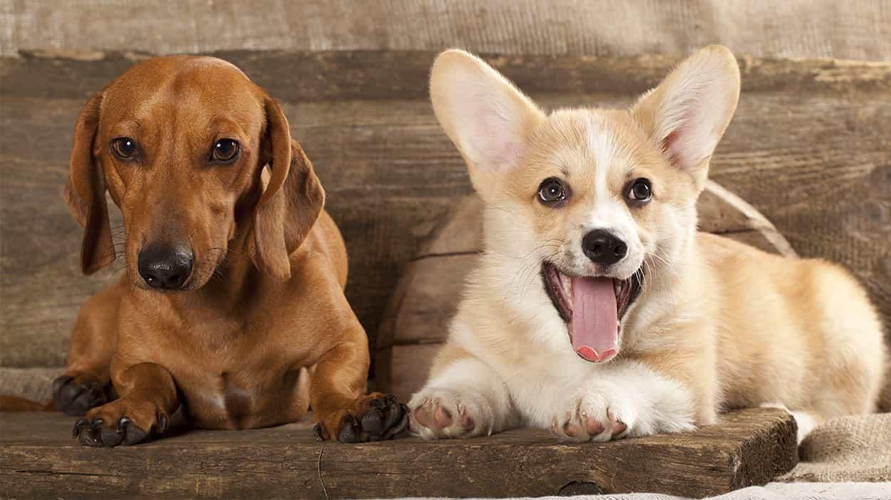 Chó Lạp xưởng và chó corgi là 2 giống chó nhỏ