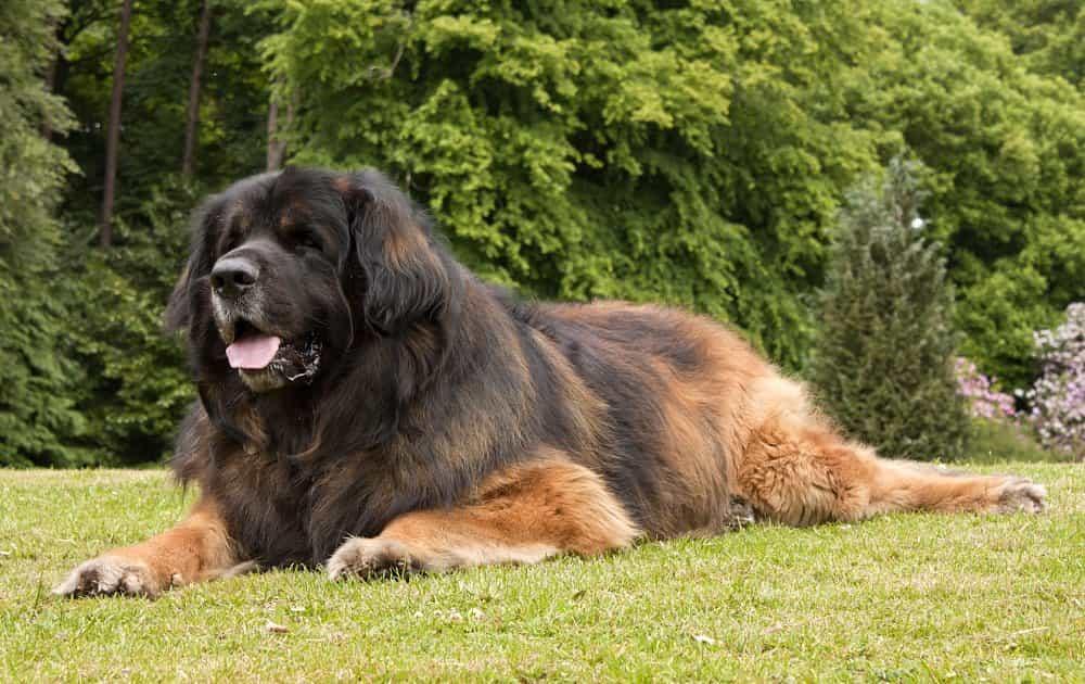 Chó Leonberger tại Đức.