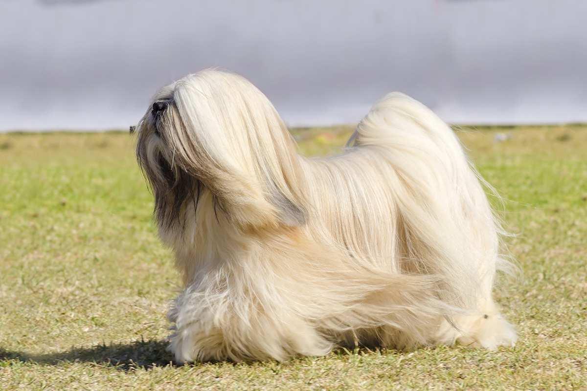Chó Lhasa Apso