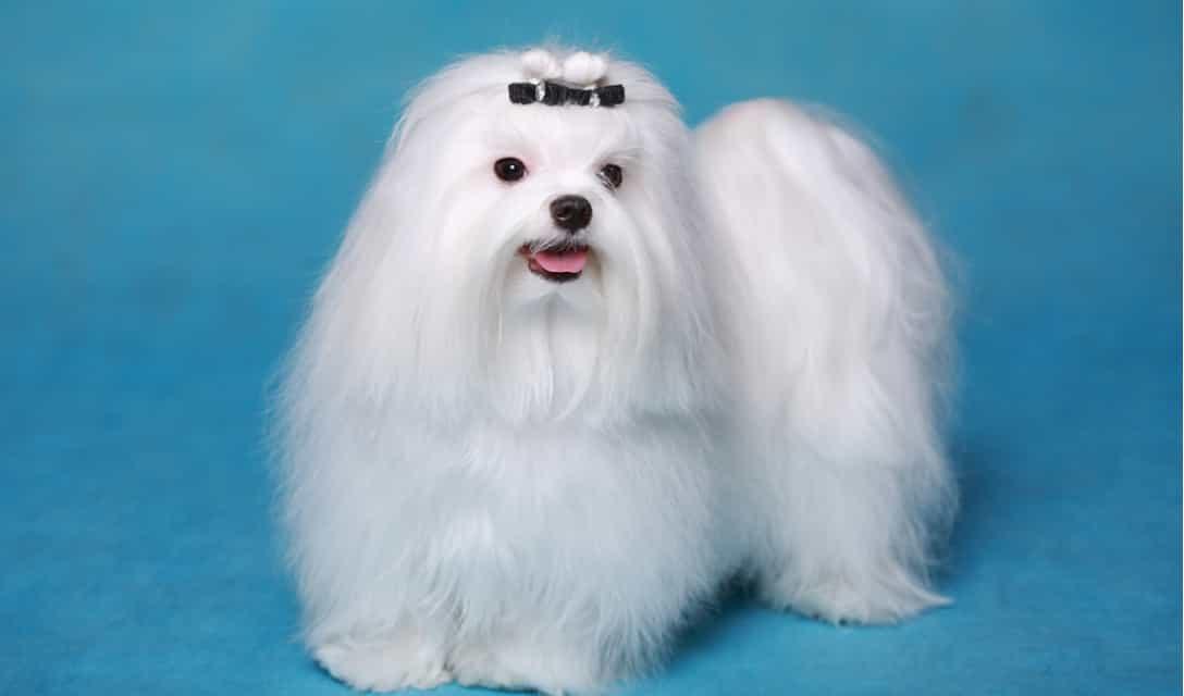 Chó Maltese lông dài