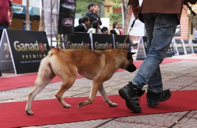 Chó Mông Cộc vàng