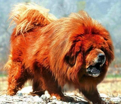 Chó Ngao Tây Tạng có nguồn gốc từ Tây Tạng - Trung Quốc