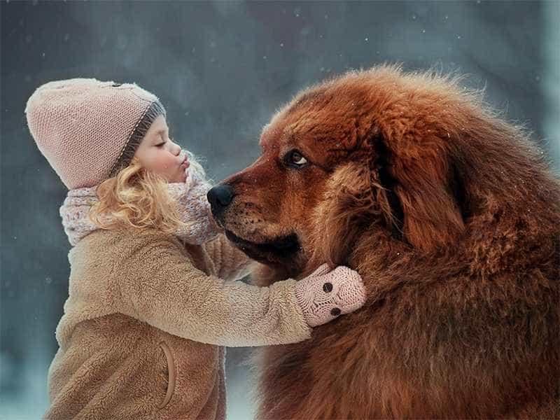 Chó Ngao Tây Tạng nhân giống trong nước sẽ có giá thấp nhất