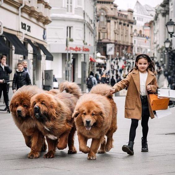 Chó Ngao Tây Tạng nhập ngoại giá sẽ cao hơn nhiều chó trong nước