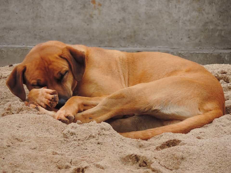 Chó ngủ trên cát lạnh