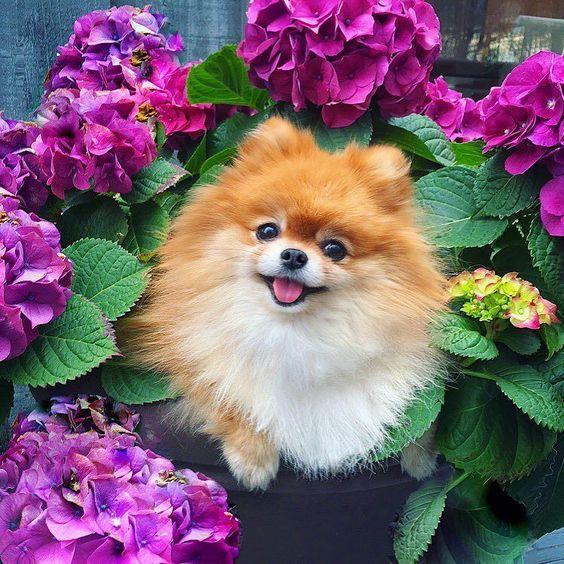 Chó Phốc sóc có ngoại hình nhỏ bé