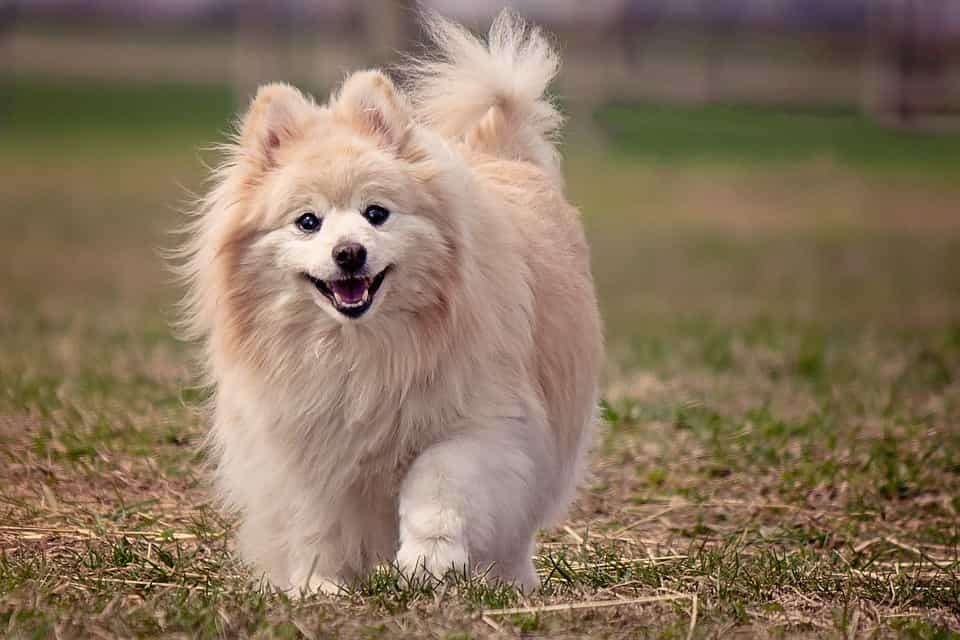 Chó Phốc sóc trưởng thành sẽ có giá cao hơn chó con