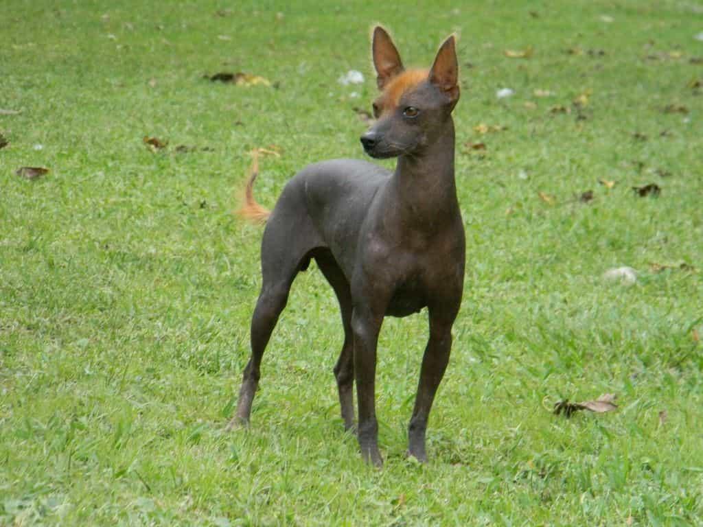 Chó Pila đứng nhìn