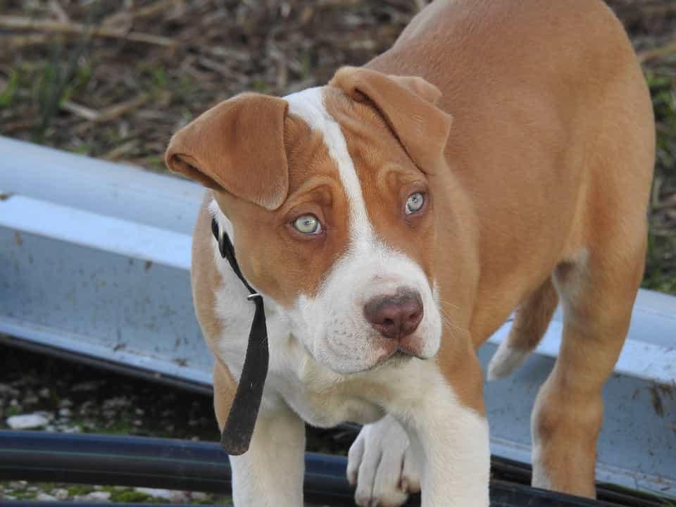Chó Pitbull nhập khẩu Thái có giá khá cao