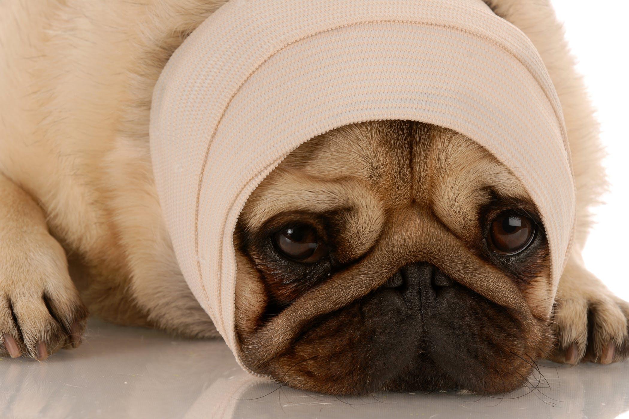 Chó Pug bị đau đầu
