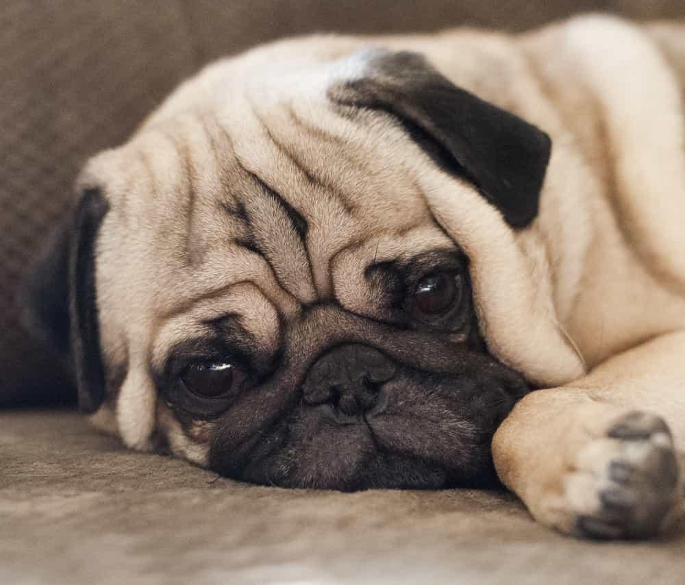 Chó Pug buồn