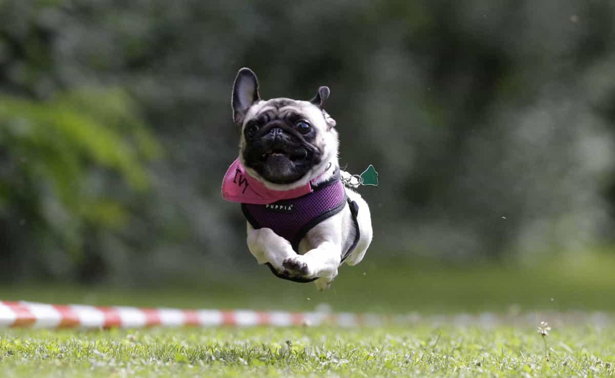 Chó Pug chạy đua