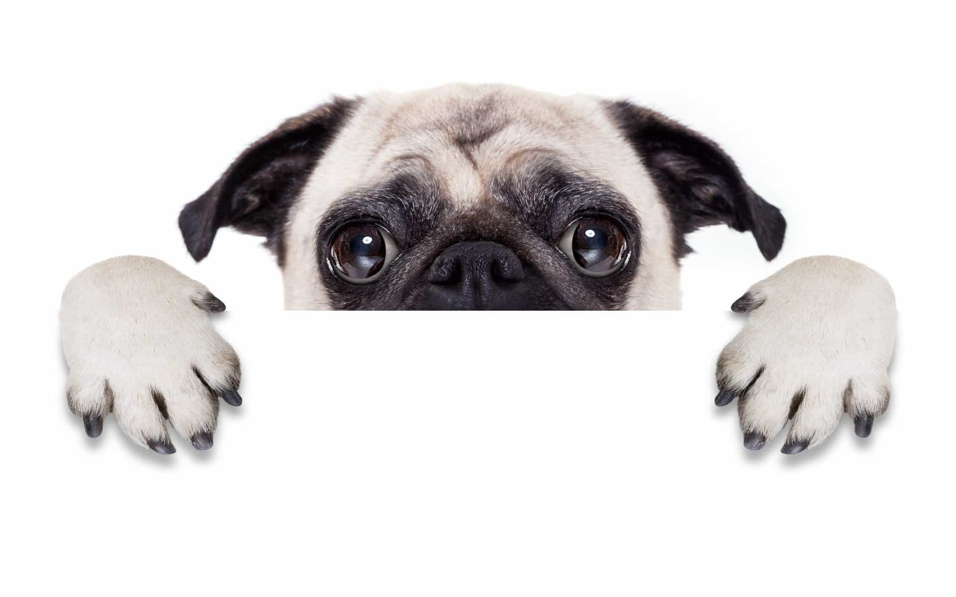 Chó Pug giấu mặt