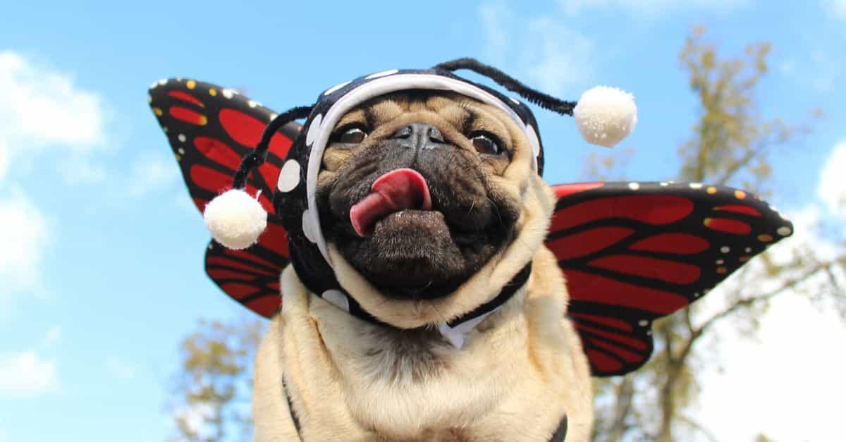 Chó Pug và bộ đồ ngộ nghĩnh