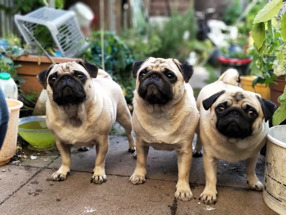 Chó Pug và những người anh em