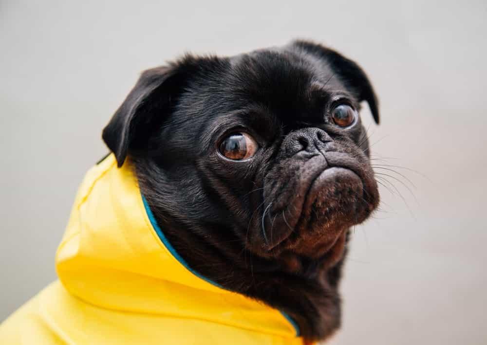 Chó Pug với biểu cảm giận dỗi
