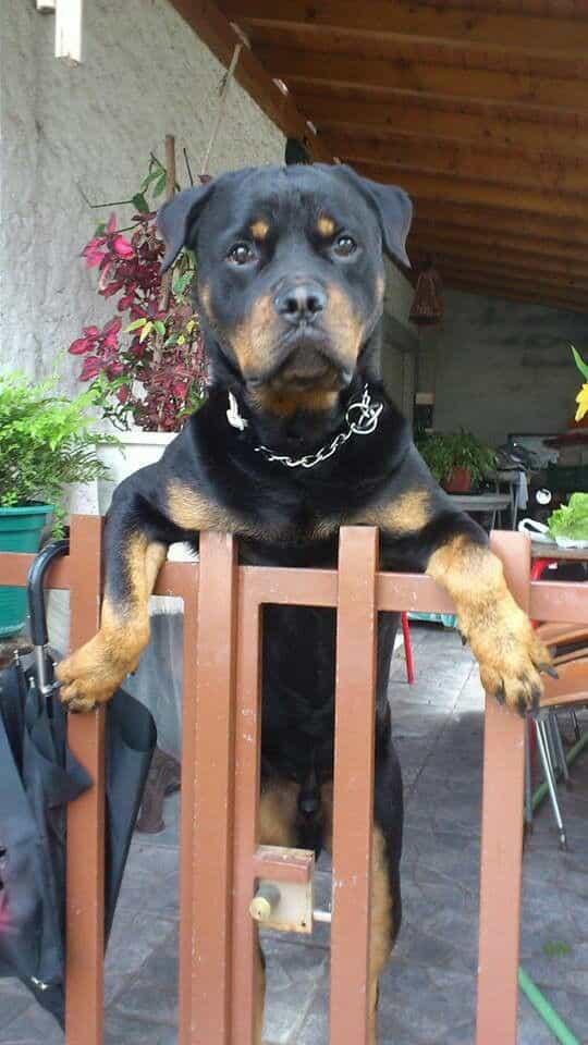 chó rottweiler serbia
