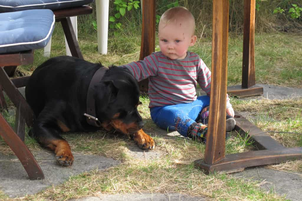 chó rottweiler thuần chủng