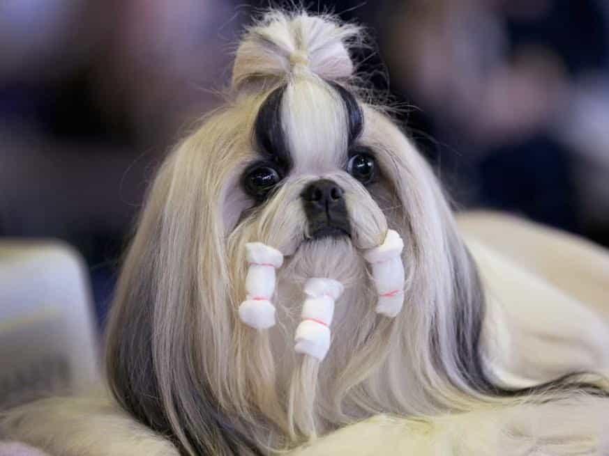 Chó Shih Tzu có bộ lông siêu dài