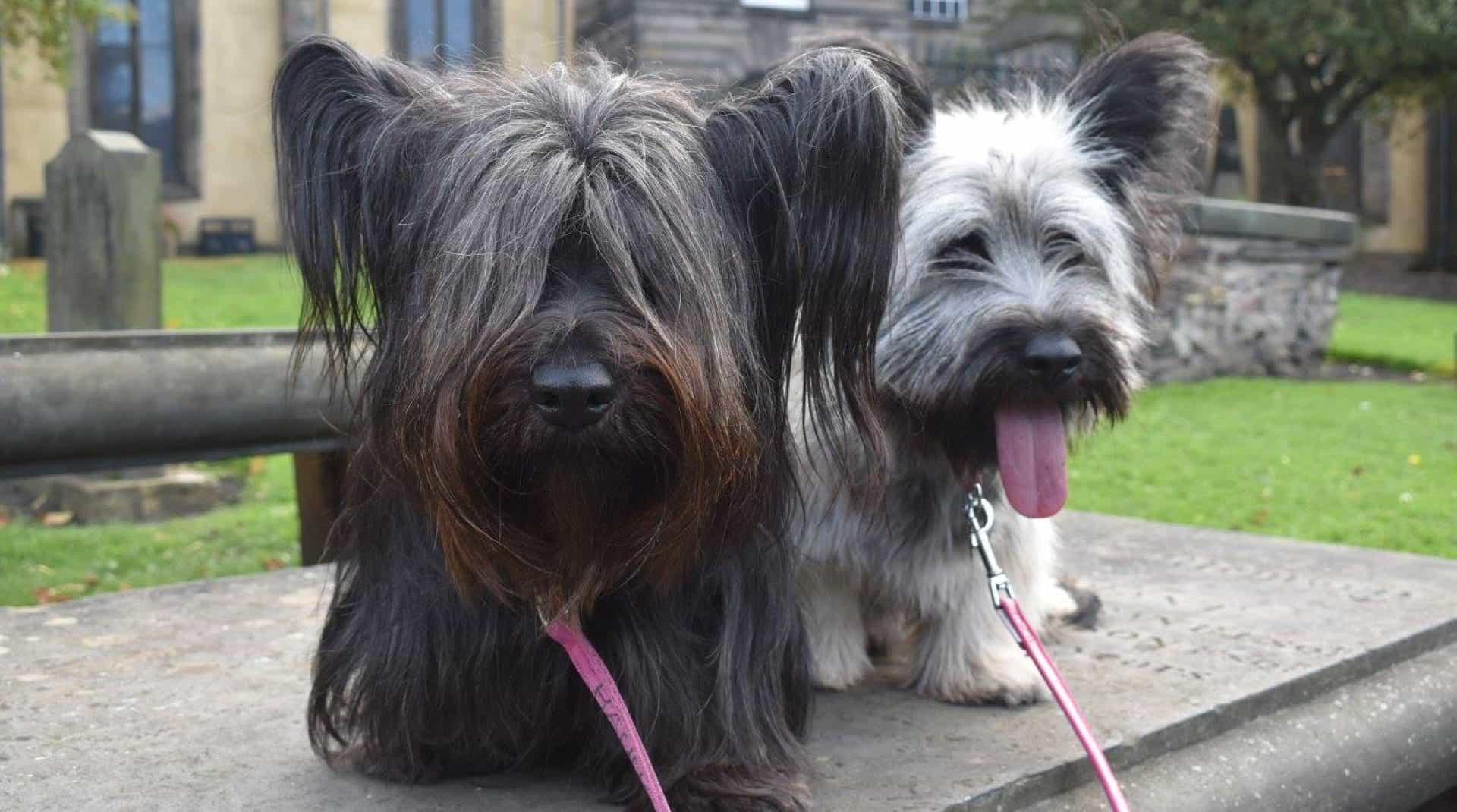 Chó Skye nhỏ và có lông dài