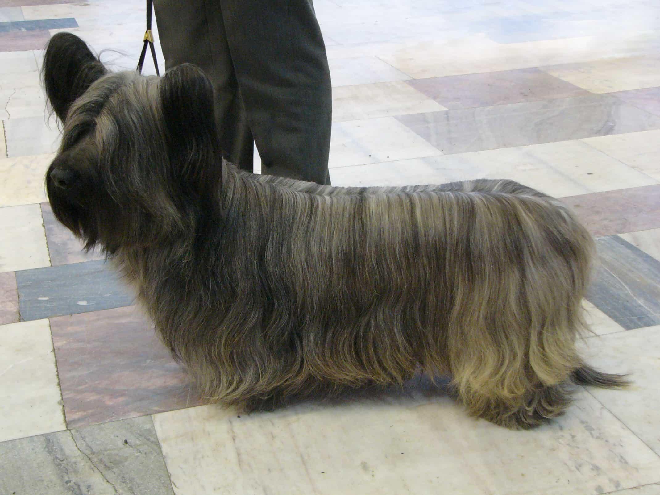 Chó sục Skye Terrier chan ngắn đứng trên đường