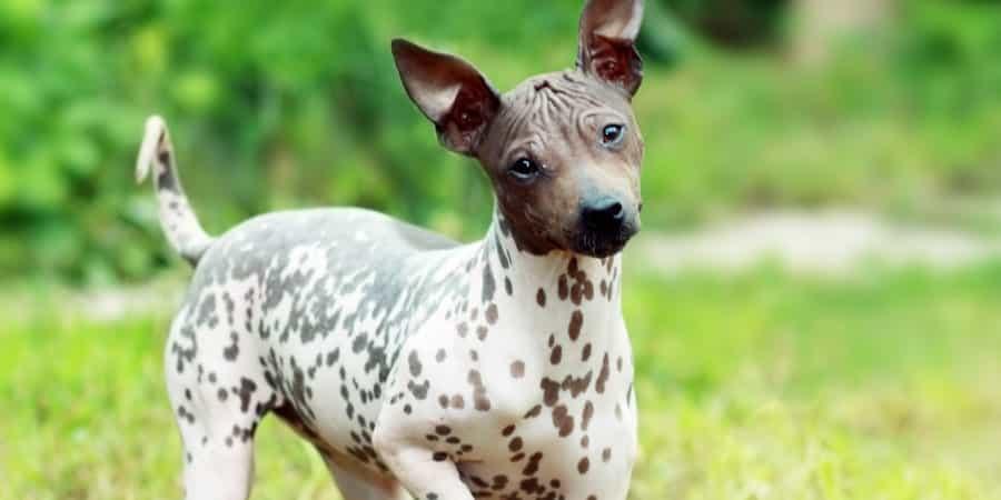 Chó sục trụi lông Hoa Kỳ khá đáng yêu