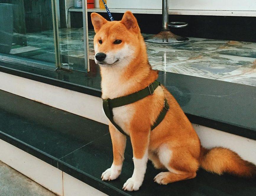 Chú chó akita inu - chó nhật bản đẹp mê hồn