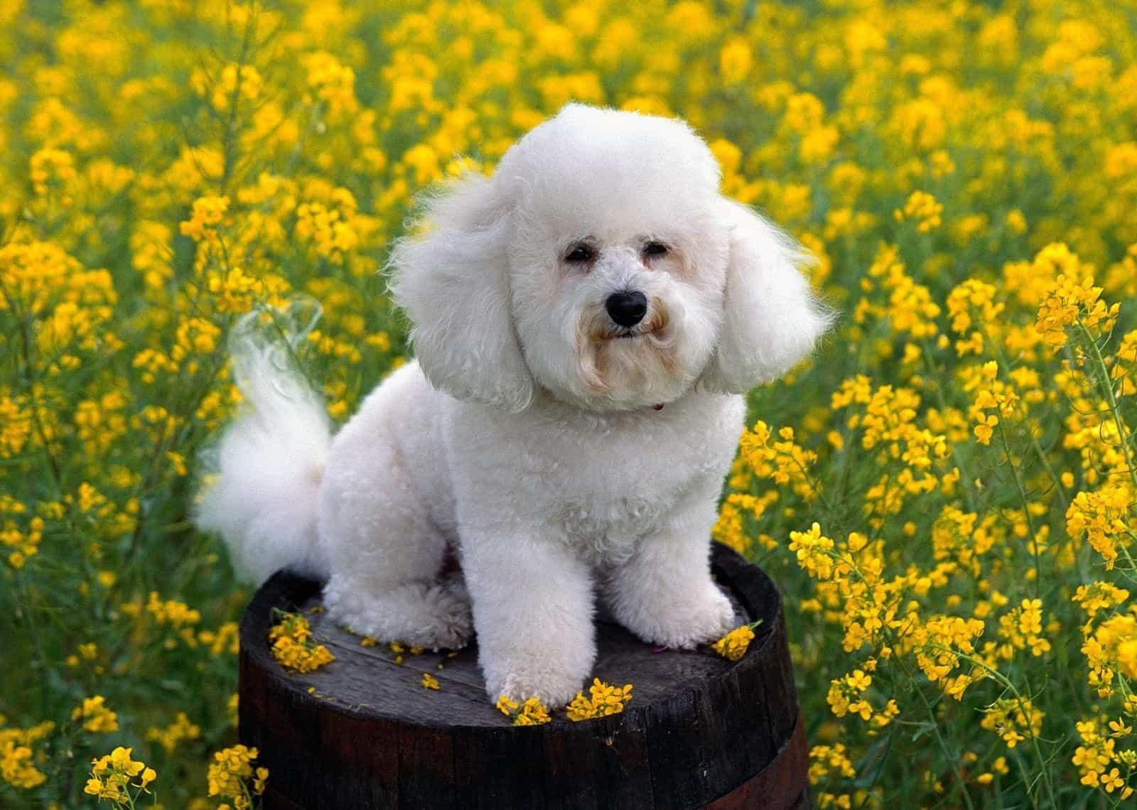 Chú chó bitchon giữa cánh đồng hoa cải