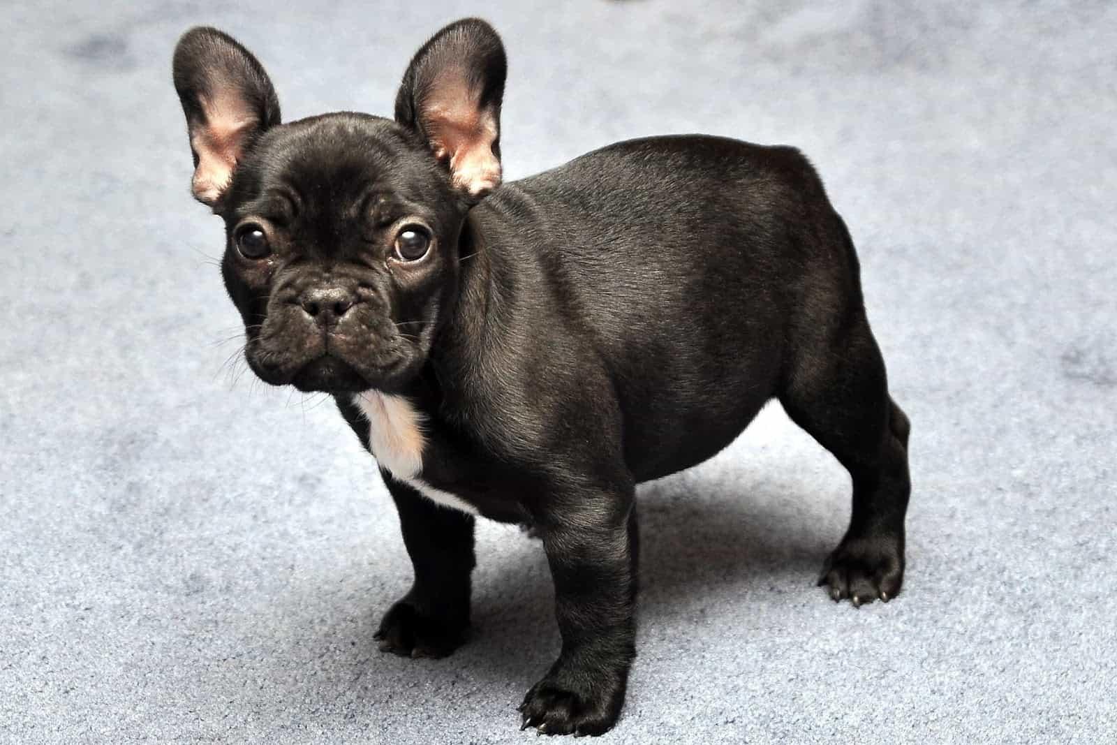 Chú chó bulldog Pháp màu đen, chân ngắn