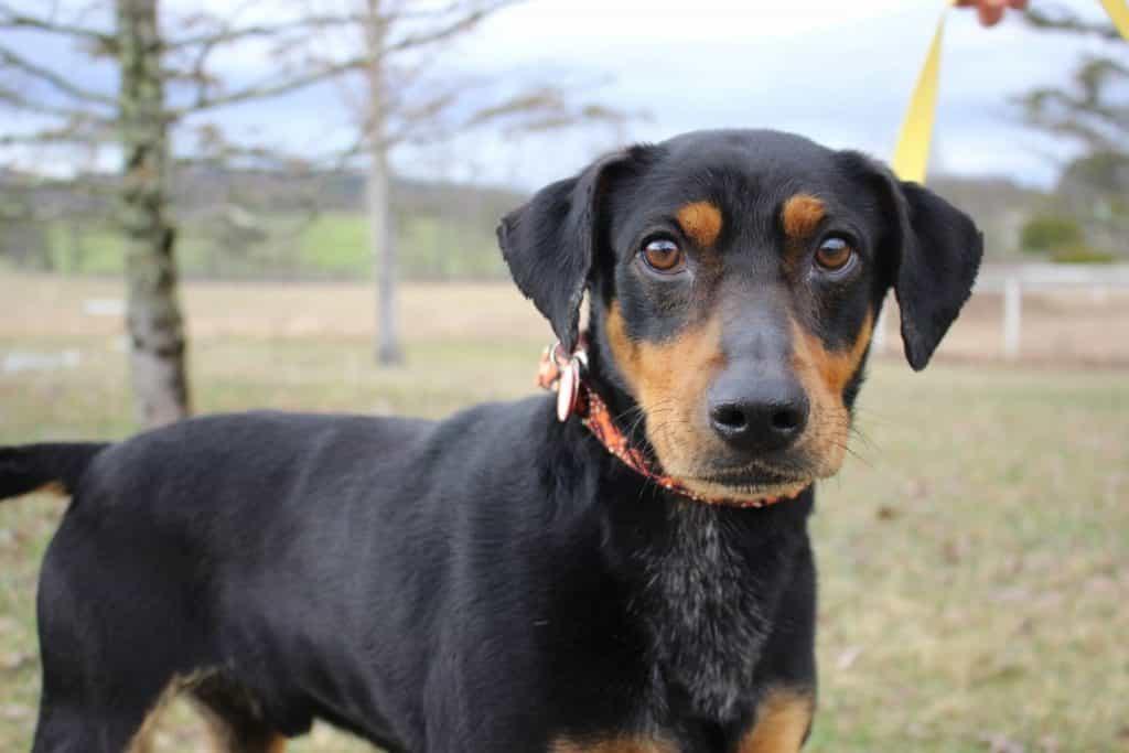 Chú chó Doberman lai Beagle với ngoại hình nhỏ bé