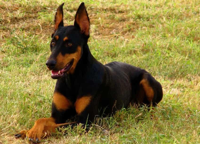 Chú chó Doberman lai Becgie Đức GSD đang nằm trên cỏ