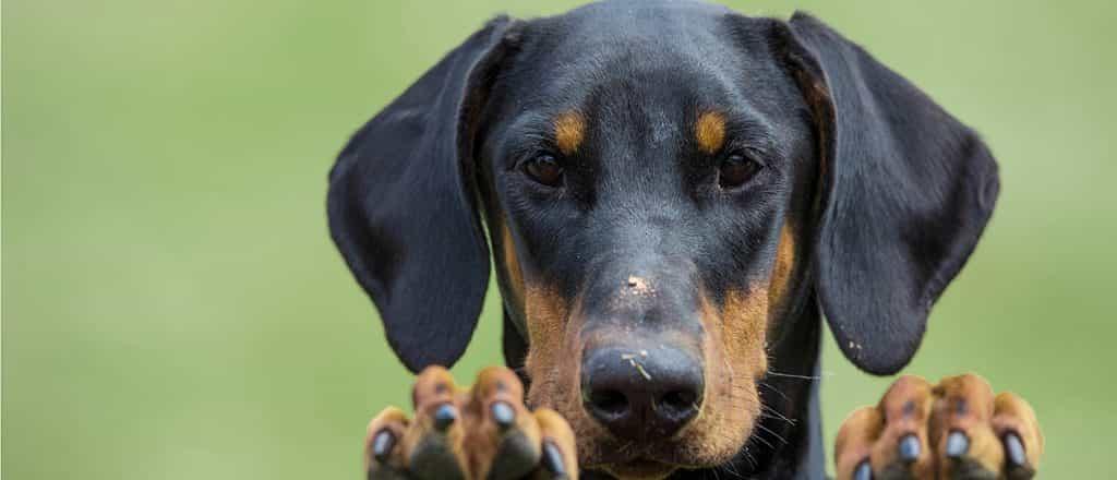 Chú chó Doberman với đôi tai cụp dễ thương