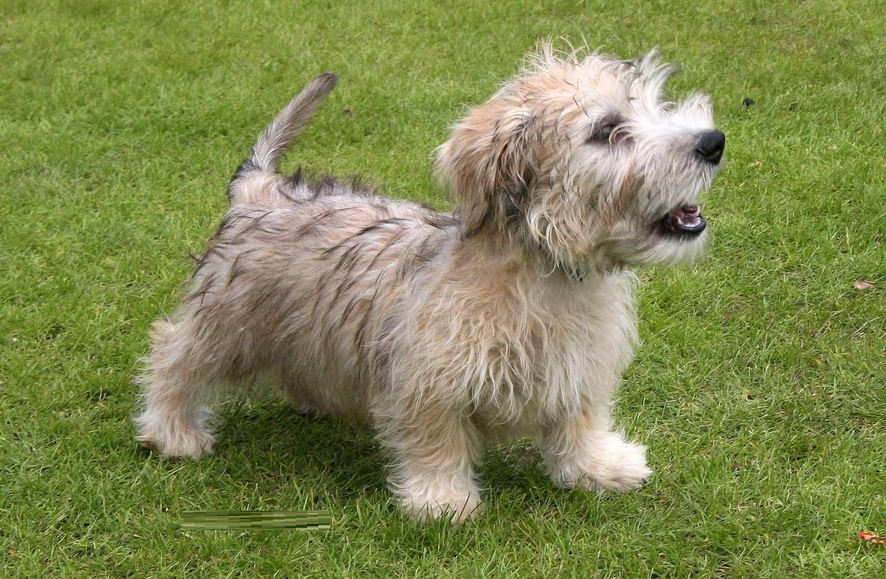 Chú chó Glen of Imaal Terrier đứng trên cỏ