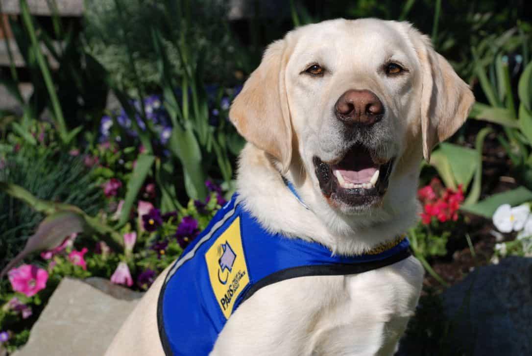 Chú chó Labrador cảnh sát
